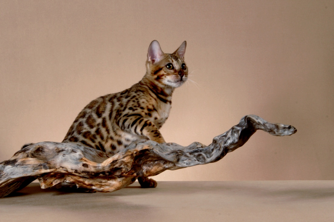 Bengal Cats Canada - Bengal Kittens Canada